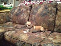 Sweet little button nose chihuahua 2 pound and just