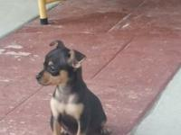 I am selling a frmale, black and tan chihuahua. She