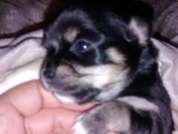 Akc male long coat chihuahua dog. He is 4 weeks old.