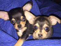 I have 2 male puppies. Very healthy and so sweet! They