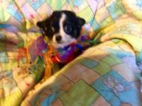 Long hair female Chihuahua puppy. DOB 3/13/15 1st