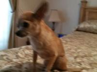 Female chihuahua approximately 8 years old weighs about