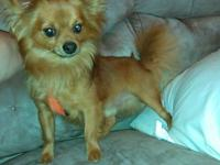 3 year old male long haired chihuahua. He is very sweet
