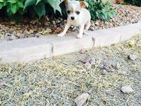 Female chihuahua she is 9weeks old and she has her