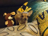 Pure Breed chihuahua no papers 10 week old light brown,