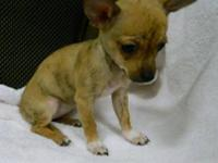 Chihuahua - Angella - Small - Baby - Female - Dog