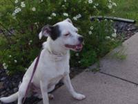 Chihuahua - Annie - Small - Young - Female - Dog Annie