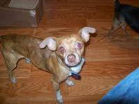 Chihuahua - Antonio Red - Small - Adult - Male - Dog My