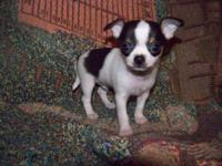 1 male $300 and 4 females $350 applehead Chihuahua