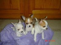 8 weeks old, tiny, chihuahua apple head puppies,