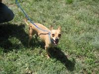 Chihuahua - Armstrong - Small - Adult - Male - Dog Hi