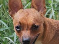 Chihuahua - Asher - Small - Young - Male - Dog Meet