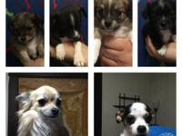 Chihuahua babies need to find a forever home! They are