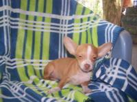 Sweet baby Chihuahua's. I have girl and boys. They will