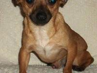 Chihuahua - Baby - Small - Young - Male - Dog This is
