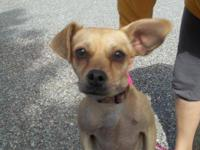 Chihuahua - Bailey - Small - Young - Female - Dog