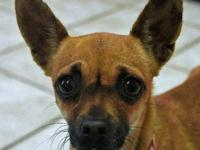 Chihuahua - Baylee-4a1a - Small - Adult - Female - Dog