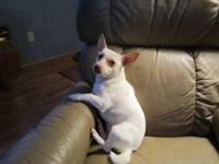 Chihuahua - Benjamin - Small - Young - Male - Dog