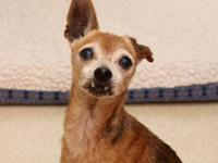 Chihuahua - Bert - Small - Senior - Male - Dog BERT is