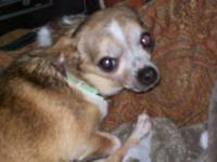 Chihuahua - Big Chief - Small - Adult - Male - Dog