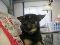 Chihuahua - Billy John - Small - Senior - Male - Dog My