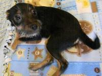 Chihuahua - Black Chi Mix Pup - Small - Baby - Male -