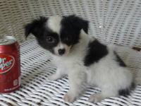 THIS IS A BLACK/WHITE LONG HAIR MALE PUPPY BORN ON