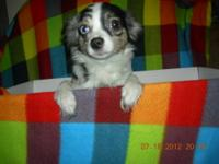 BEAUTIFUL (RARE) BLUE MERLE CHIHUAHUA (MALE) HE IS 4