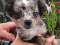 Here is a hard to find long haired blue merle Chihuahua