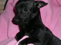 Chihuahua - Bonita - Small - Young - Female - Dog This