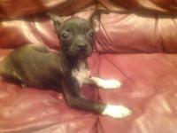 Beautiful Chihuahua Boston Terrier Mix puppies .11