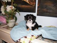 I have a BEAUTIUFL tri-colored purebred boy Chihuahua.