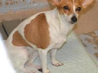 Chihuahua - Brandy - Small - Adult - Female - Dog The