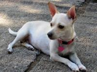 Chihuahua - Briar Rose - Small - Young - Female - Dog