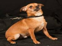 Chihuahua - Buddy - Small - Young - Male - Dog