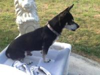 Chihuahua - Buddy2 - Small - Adult - Male - Dog Please