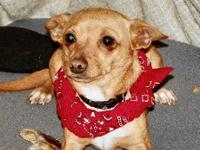 Chihuahua - Butcher - Small - Young - Male - Dog Our