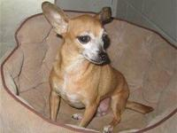 Chihuahua - Butterfly 11958 - Small - Adult - Female -