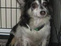 Chihuahua - Callie - Small - Adult - Female - Dog