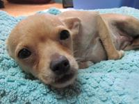Chihuahua - Callie - Small - Young - Female - Dog