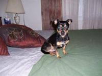 Chihuahua - Carlos - Small - Senior - Male - Dog