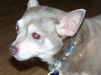 Chihuahua - Casper - Small - Adult - Female - Dog