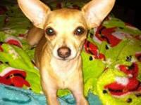 Chihuahua - Charlie - 5 1/2 Pounds Of Cuteness - Small