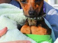 "Chihuahua - Charlie Boy The ""chiweenie"" - Pending!! -"