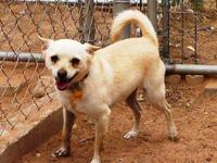 Chihuahua - Charlie - Small - Adult - Male - Dog A