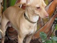 Chihuahua - Charlie - Small - Adult - Male - Dog
