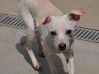 Chihuahua - Charlie - Small - Young - Male - Dog