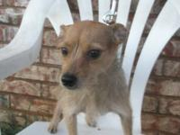"Chihuahua - Charlotte ""lottie"" - Small - Young - Female"