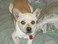 Chihuahua - Cheech 10 Lbs - Small - Young - Male - Dog