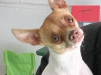Chihuahua - Chelsey Chi - Small - Young - Female - Dog